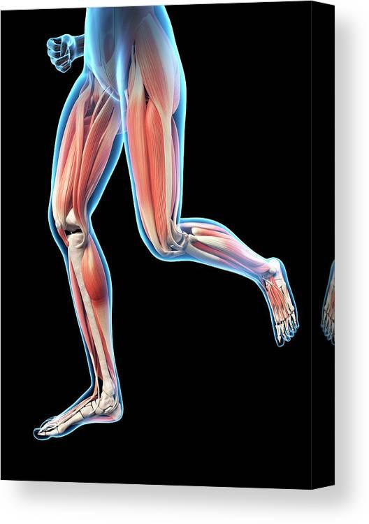 Artwork Canvas Print featuring the photograph Human Leg Muscles by Sebastian Kaulitzki