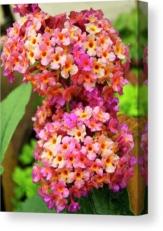 Close-up Canvas Print featuring the photograph Buddleja Sp. Plant In Flower by Ian Gowland/science Photo Library