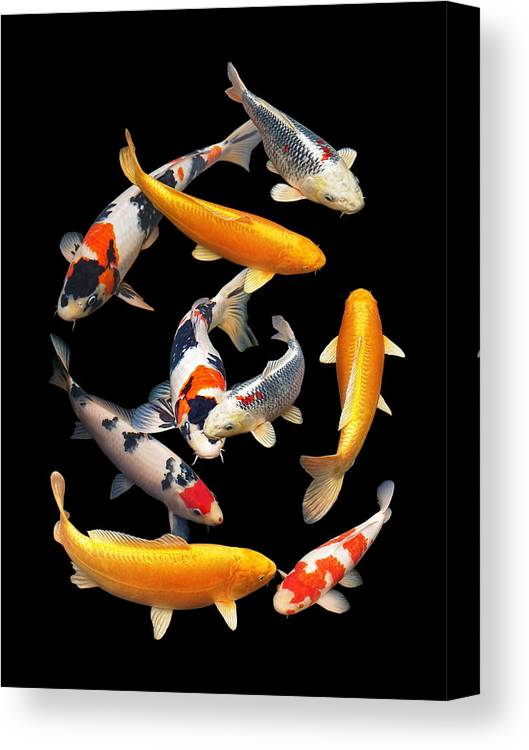 Fish Canvas Print featuring the photograph Colorful Japanese Koi Vertical by Gill Billington
