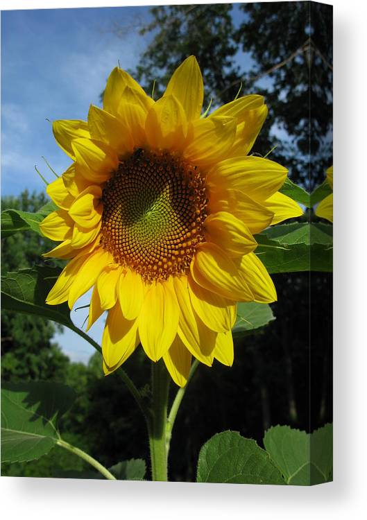 Sunflower Canvas Print featuring the photograph Good Morning by Laura Corebello