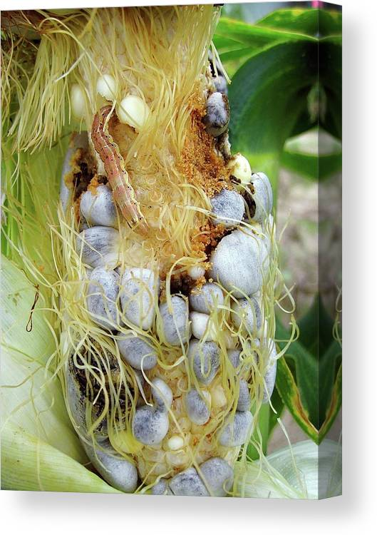 Maize Canvas Print featuring the photograph Maize Cob Infected With Corn Smut by Eric Schmelz/us Department Of Agriculture
