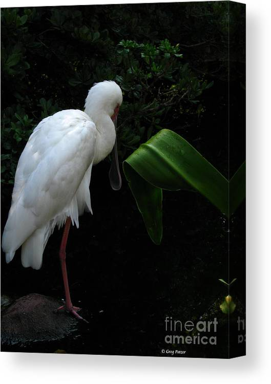 Art For The Wall...patzer Photography Canvas Print featuring the photograph Spoonbill Morning by Greg Patzer