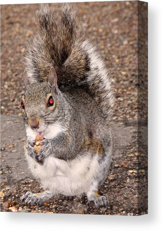 Squirrel Canvas Print featuring the photograph Squirrel Possessed by Rona Black