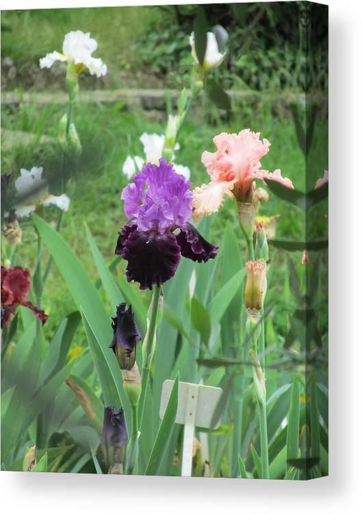 Purple Iris Canvas Print featuring the photograph Two Tone Iris by Iris Prints
