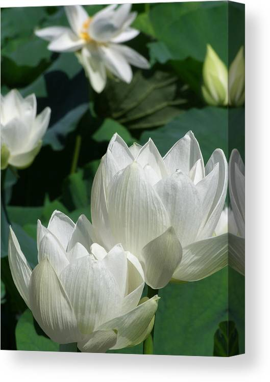 Lotus Canvas Print featuring the photograph White Lotus by Larry Knipfing