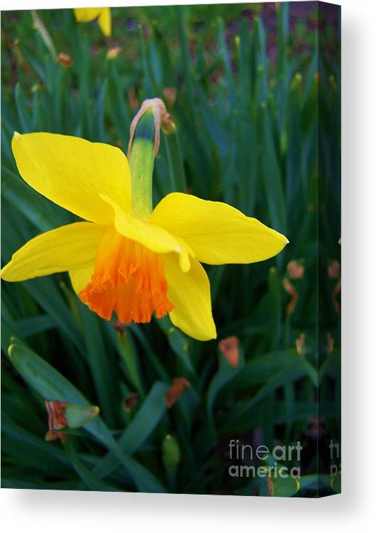 Yellow Canvas Print featuring the photograph Yellow Lily Flower by Rachel Butterfield