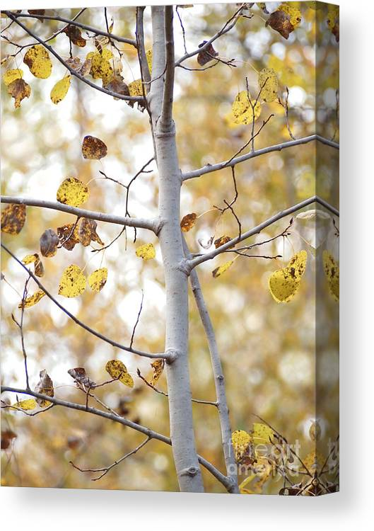 Aspen Canvas Print featuring the photograph Autumn Aspens by Angie Rea