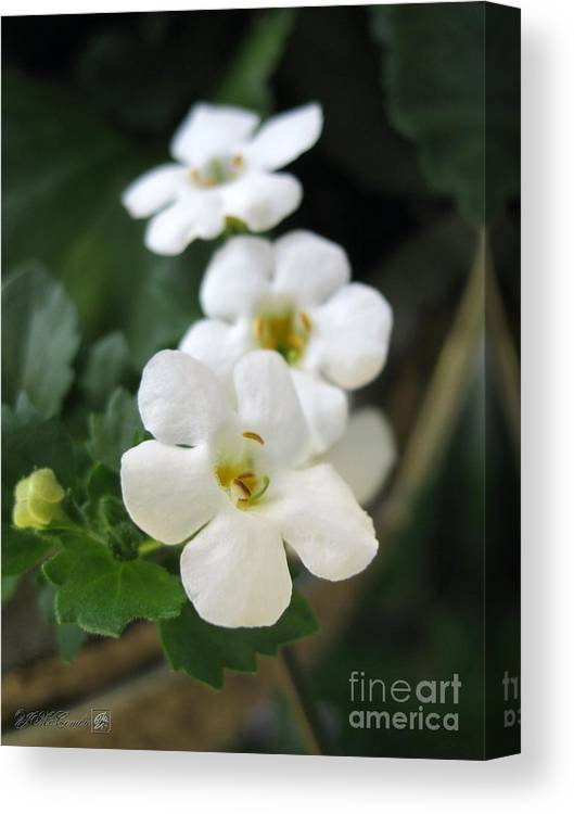 Bacopa Canvas Print featuring the photograph Bacopa Named Snowtopia by J McCombie