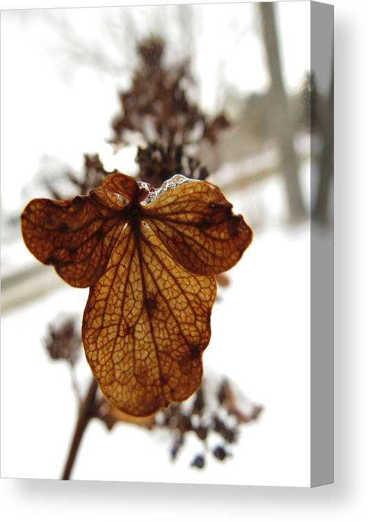 Hydrangea Canvas Print featuring the photograph Hydrangea In Winter by Sarah Burrin