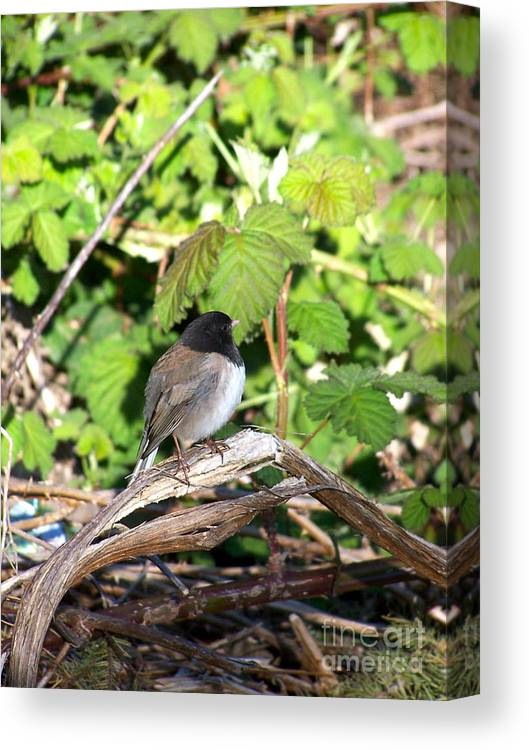 Bird Canvas Print featuring the photograph King Of The Blackberry Brier by KD Johnson