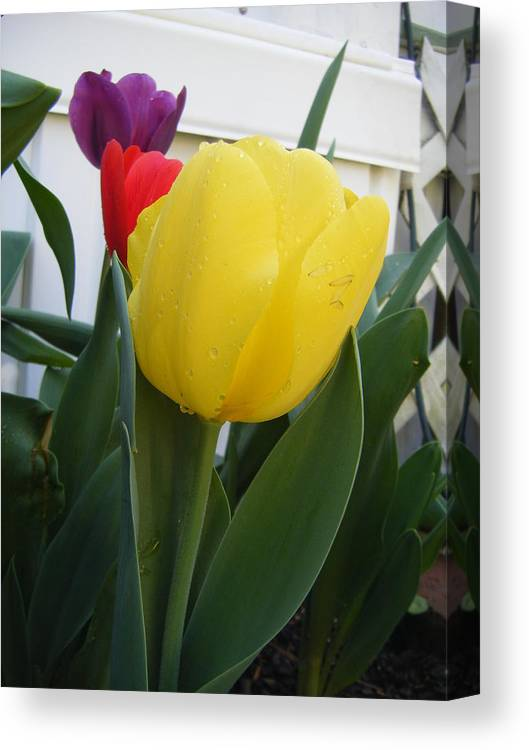 All Canvas Print featuring the photograph Three Tulips by Barbara Stickney