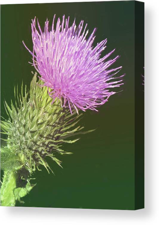 Flower Canvas Print featuring the photograph Uplifting by Ian MacDonald