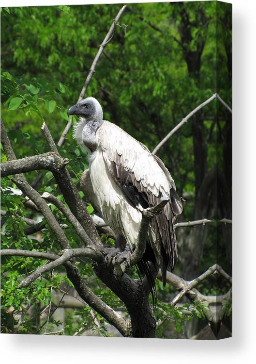 Vulture Canvas Print featuring the photograph African Vulture by George Jones