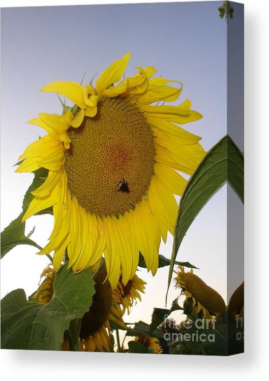 Bee On Sunflower Canvas Print featuring the photograph Bee On Sunflower 5 by Chandelle Hazen