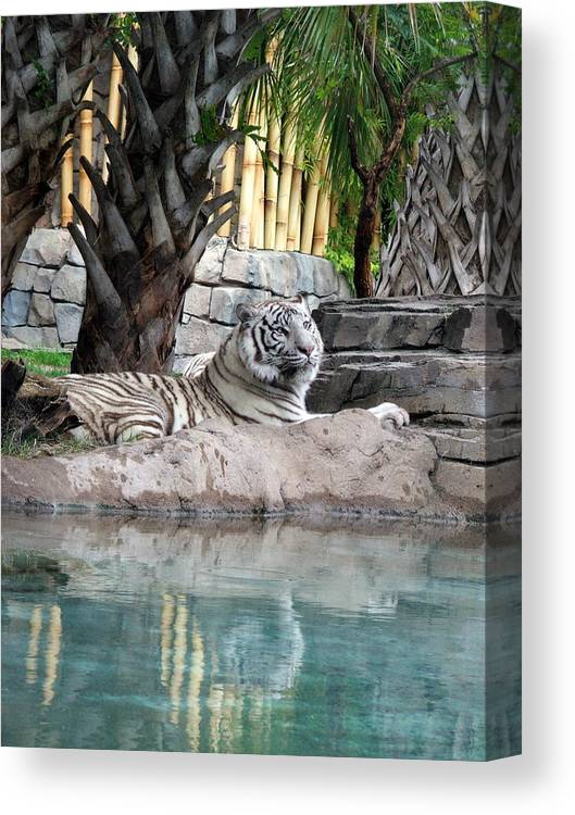 White Tiger Canvas Print featuring the photograph Busch Tiger by Wayne Skeen