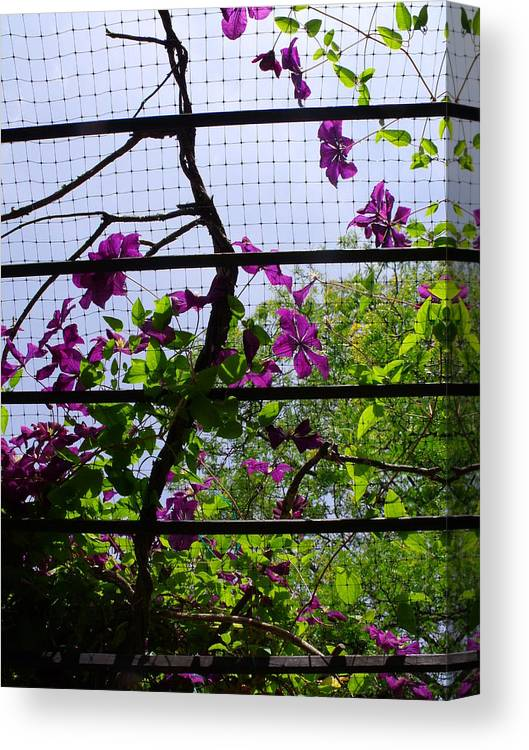 Purple Canvas Print featuring the photograph Clematis I by Anna Villarreal Garbis