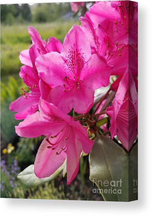 Flowers Canvas Print featuring the photograph Coast Rhododendran- Washington State Flower by Jane Powell