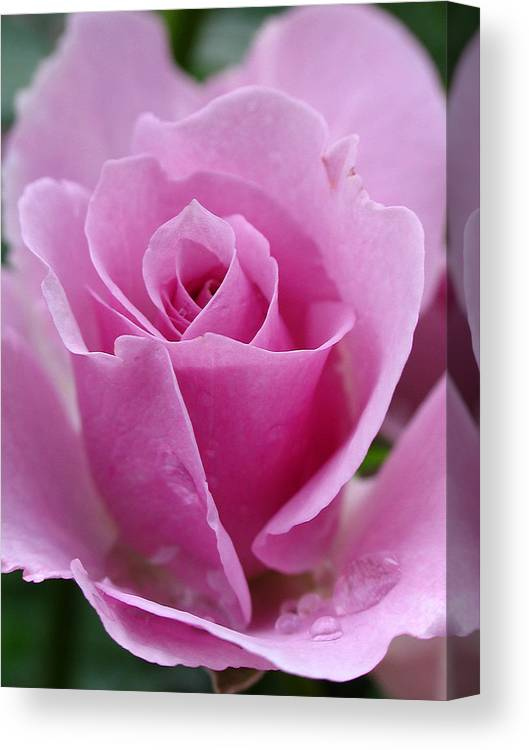 Rose Canvas Print featuring the photograph James Kelleher Rose Garden by Juergen Roth