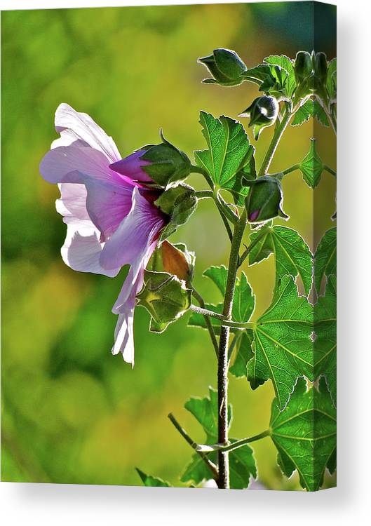 Flower Canvas Print featuring the photograph Lavender Flower In The Sun by Liz Vernand