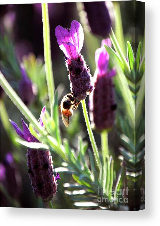 lavender Pink Canvas Print featuring the photograph Lavender Pink by DiDi Higginbotham