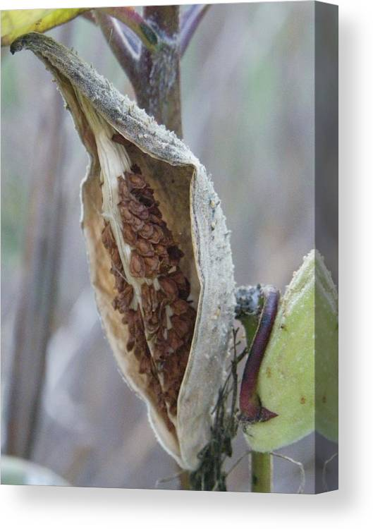 Nature Canvas Print featuring the photograph Milkweed by Peggy King