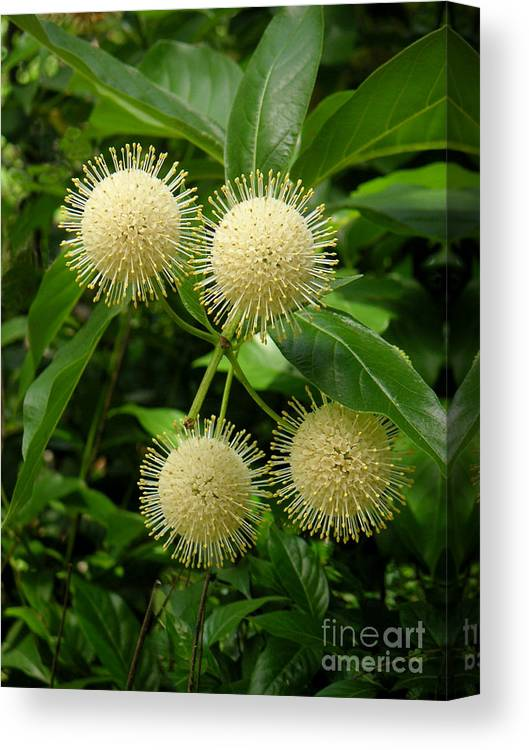 Nature Canvas Print featuring the photograph Nature In The Wild - Pin Cushions Of Nature by Lucyna A M Green