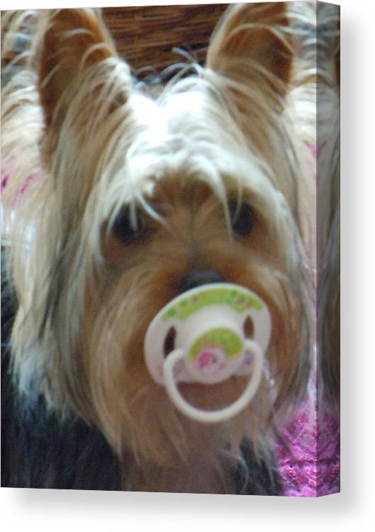 Miniature Yorkshire Terrier Canvas Print featuring the photograph Paddy My Boy by Janet Folan