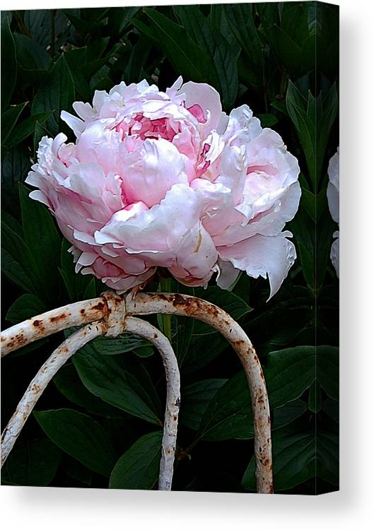 Peony Canvas Print featuring the photograph Pink Peony by Marion McCristall
