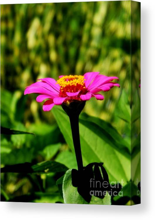 Flowers Canvas Print featuring the photograph Pink Zennia by Melody Meadows