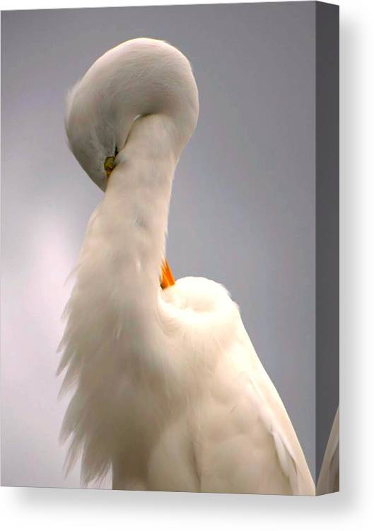 Great White Egret Canvas Print featuring the photograph Radiant Beauty by Jennifer A Garcia