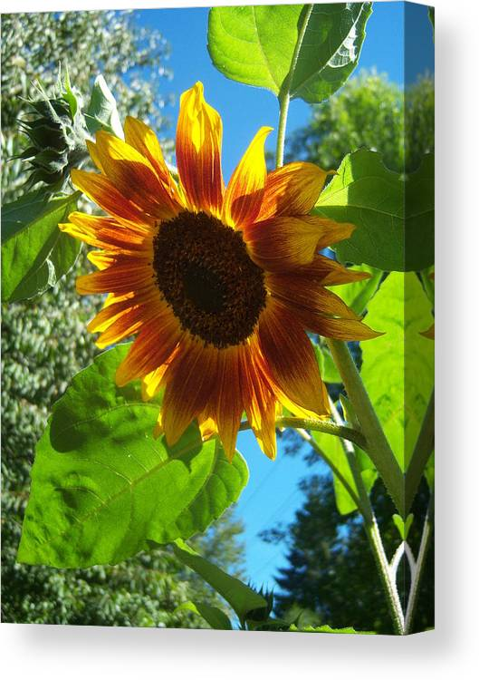 Sunflower Canvas Print featuring the photograph Sunflower 101 by Ken Day