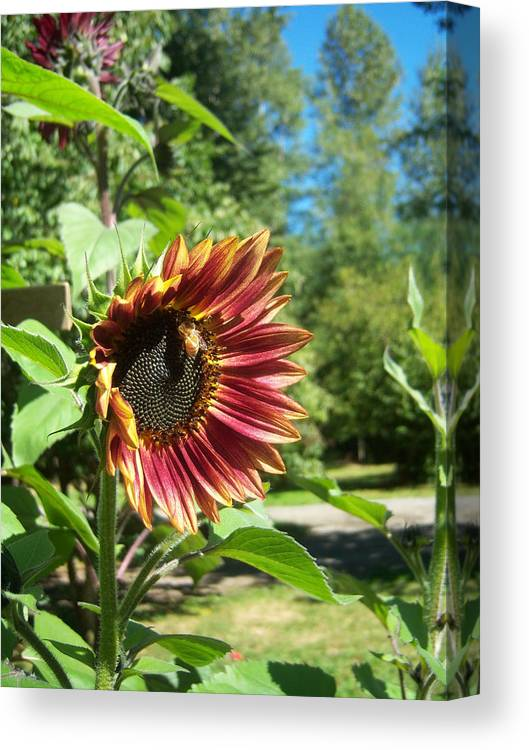 Sun Canvas Print featuring the photograph Sunflower 124 by Ken Day