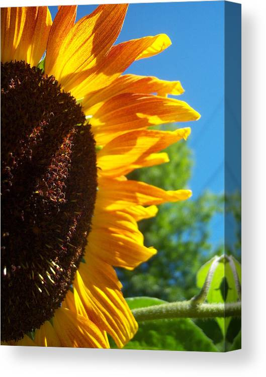 Sun Canvas Print featuring the photograph Sunflower 139 by Ken Day