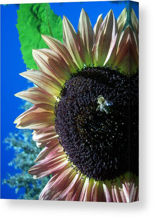 Sun Canvas Print featuring the photograph Sunflower 142 by Ken Day