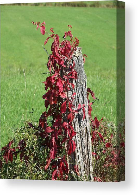 Vine Canvas Print featuring the photograph The Red Vine - Photograph by Jackie Mueller-Jones