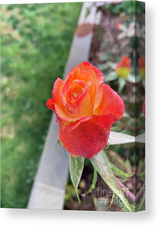 Nature Photo Canvas Print featuring the photograph Single Rose by Epic Luis Art