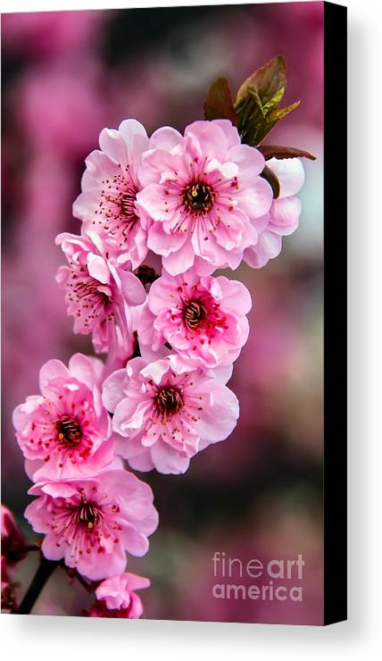 Blooms Canvas Print featuring the photograph Beautiful Pink Blossoms by Robert Bales