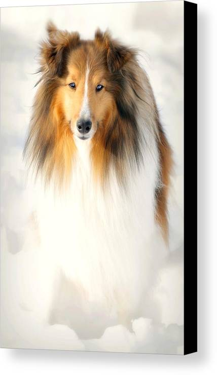 Dog Canvas Print featuring the photograph Collie by Diana Angstadt