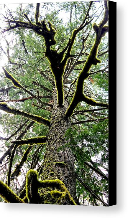 Moss Fluoresces On Antler Like Branches Canvas Print featuring the photograph Fluorescent Moss by Brian Sereda