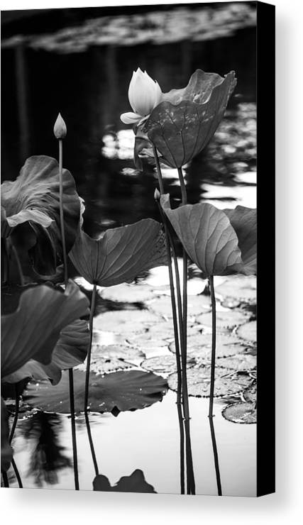 Mauritius Canvas Print featuring the photograph Lotuses In The Pond I. Black And White by Jenny Rainbow