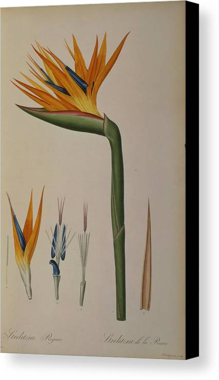 Strelitzia Canvas Print featuring the painting Strelitzia Reginae by Pierre Joseph Redoute