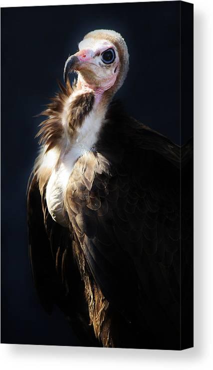 Vulture Canvas Print featuring the photograph Vulture by Paulette Thomas