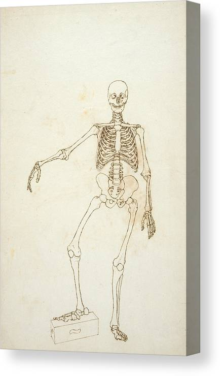 Drawing Canvas Print featuring the photograph Study Of The Human Figure, Anterior View, From A Comparative Anatomical Exposition Of The Structure by George Stubbs