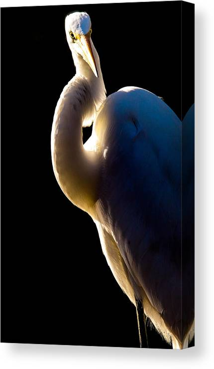 Wildlife Bird Bird's Great Egret Portrait Canvas Print featuring the photograph Portrait Of A Great Egret by Donald Hazlett