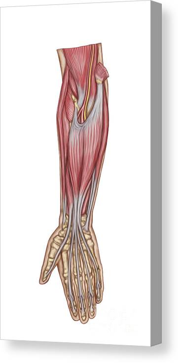 Vertical Canvas Print featuring the digital art Anatomy Of Forearm Muscles, Anterior by Stocktrek Images