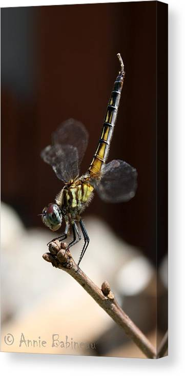 Blue Canvas Print featuring the photograph Dragonfly Yoga by Annie Babineau