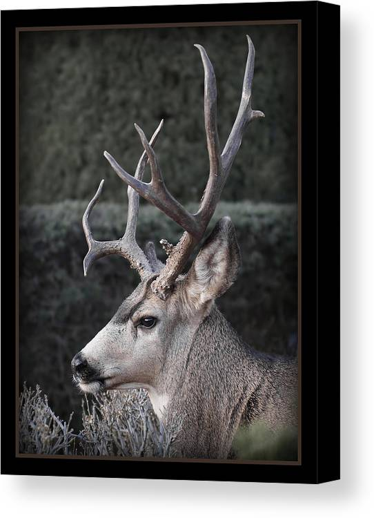 The Buck Canvas Print featuring the photograph The Buck by Ernie Echols