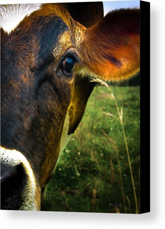 Cows Canvas Print featuring the photograph Cow Eating Grass by Bob Orsillo