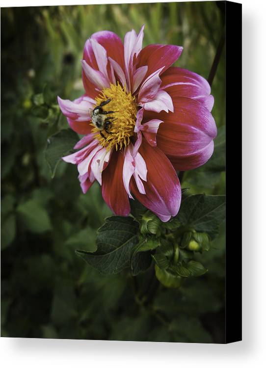 Flower Canvas Print featuring the photograph Gathering Pollen by Kevin Snider