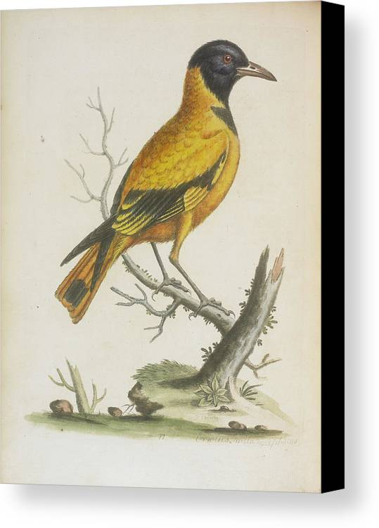Britain Canvas Print featuring the photograph Indian Icterus by British Library